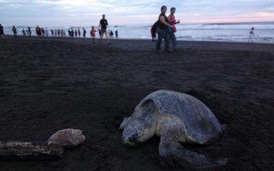 Żółwie morskie z Ostional Beach